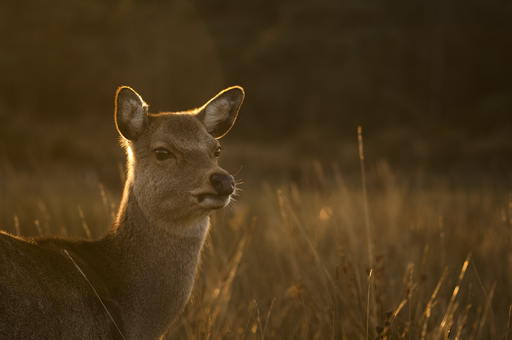 Sika hind evening sun