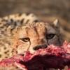 Cheetah eating