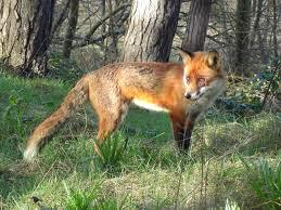 Attached Image: fox.jpg