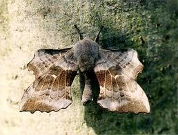 Attached Image: hawk moth.jpeg