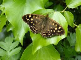 Attached Image: speckled wood.jpeg