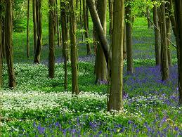 Attached Image: bluebells and wild garlic.jpeg