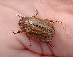 Attached Image: chafer.jpeg
