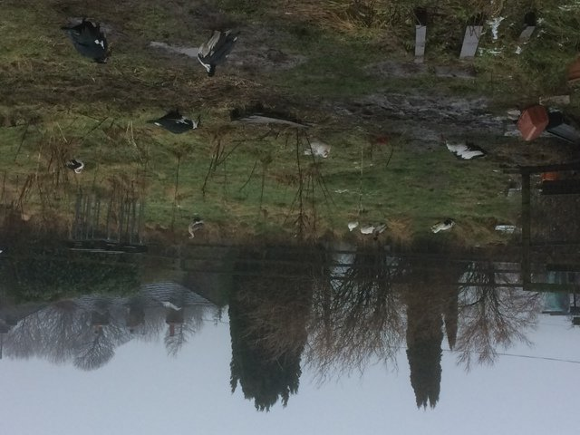 Ducks in Paddock.jpg