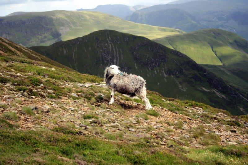 Old Ewe on summit of Grasmoor