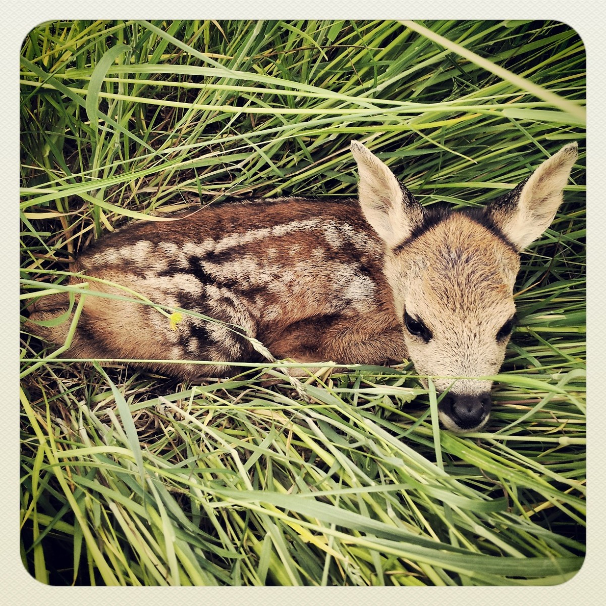 Stumbled upon a young Roe fawn
