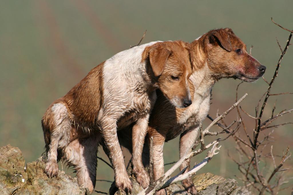 Terriers.
