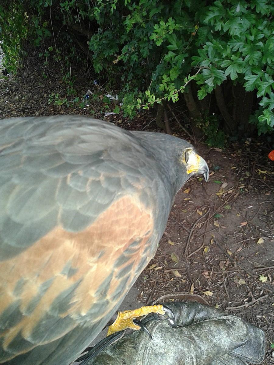 Dougie Male Harris Hawk Watching A Blackbird