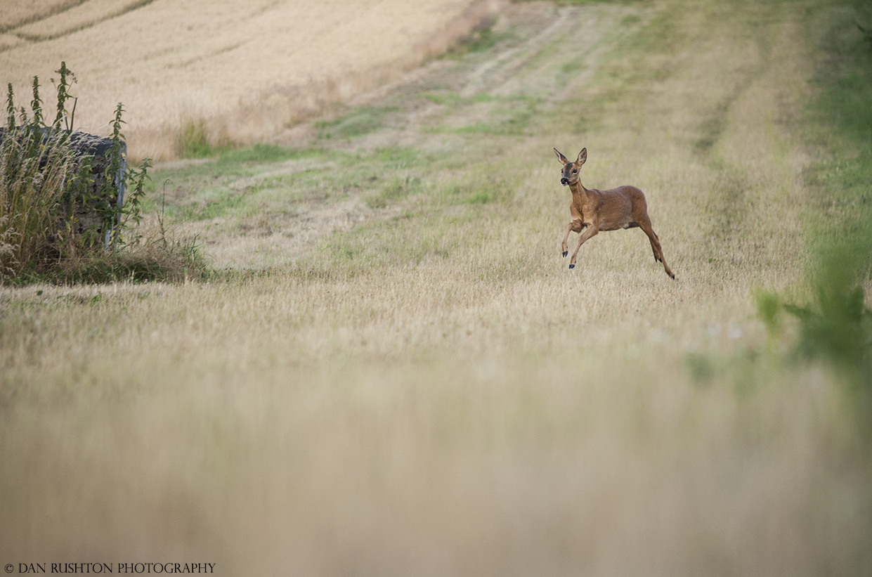 Roe Doe running to a call