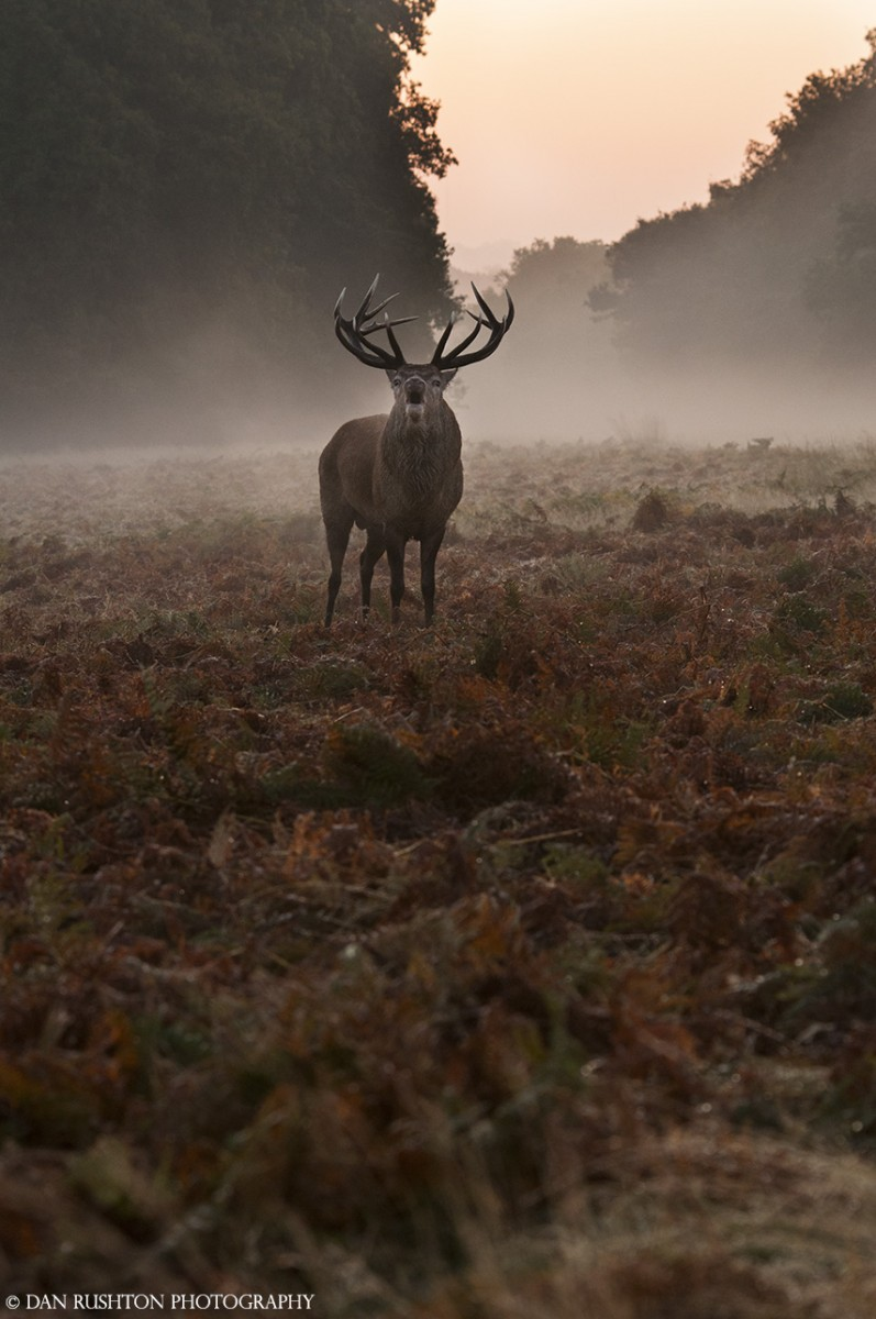 Red stag rutting