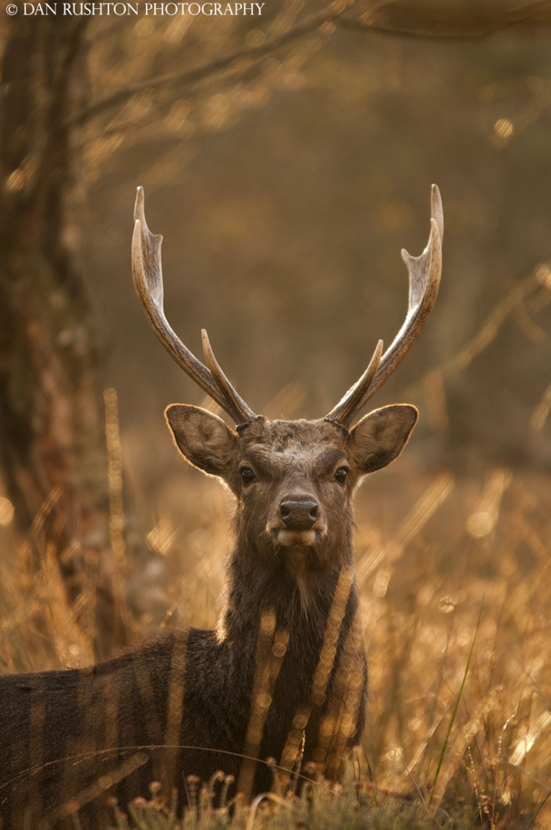 Winter sun sika stag
