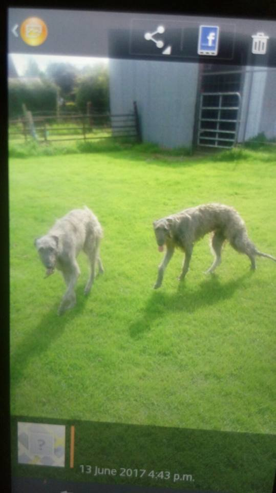 deerhounds for sale again.jpg