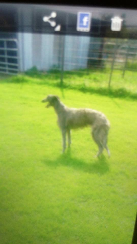 deerhounds for sale.jpg
