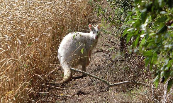 Wallaby-599207.jpg