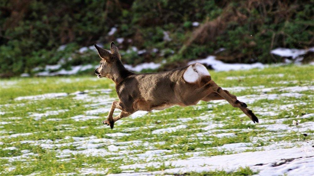 deer.thumb.JPG.38079c52a1510651cd2bb5ad93390d34.JPG