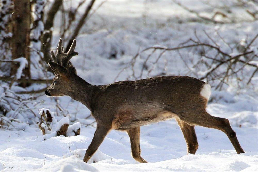 deer.thumb.JPG.6f7cabf51dc167efe5469560f546c803.JPG