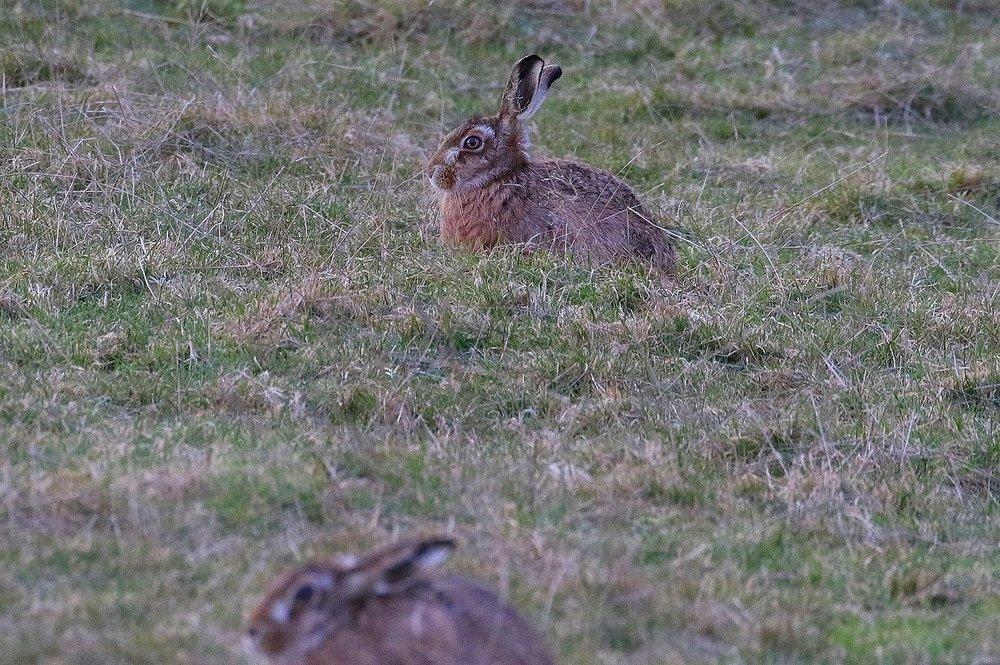 hare.thumb.JPG.38ed21af3f2f3a8882e80e5230cf5255.JPG