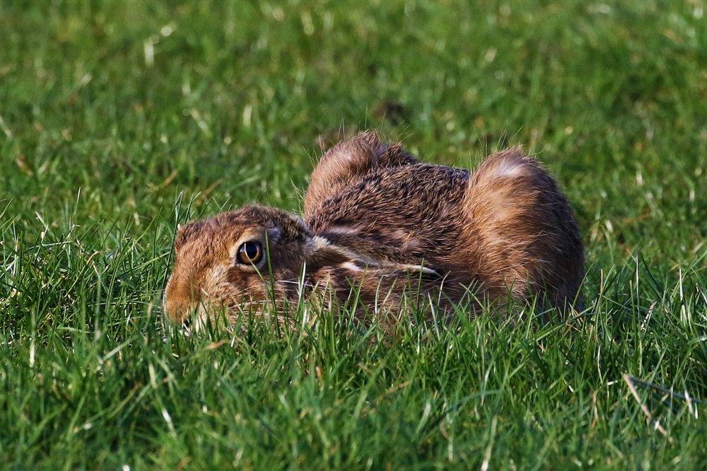 hare.thumb.jpg.1496f2178bf531330b1974ab36b2ab08.jpg