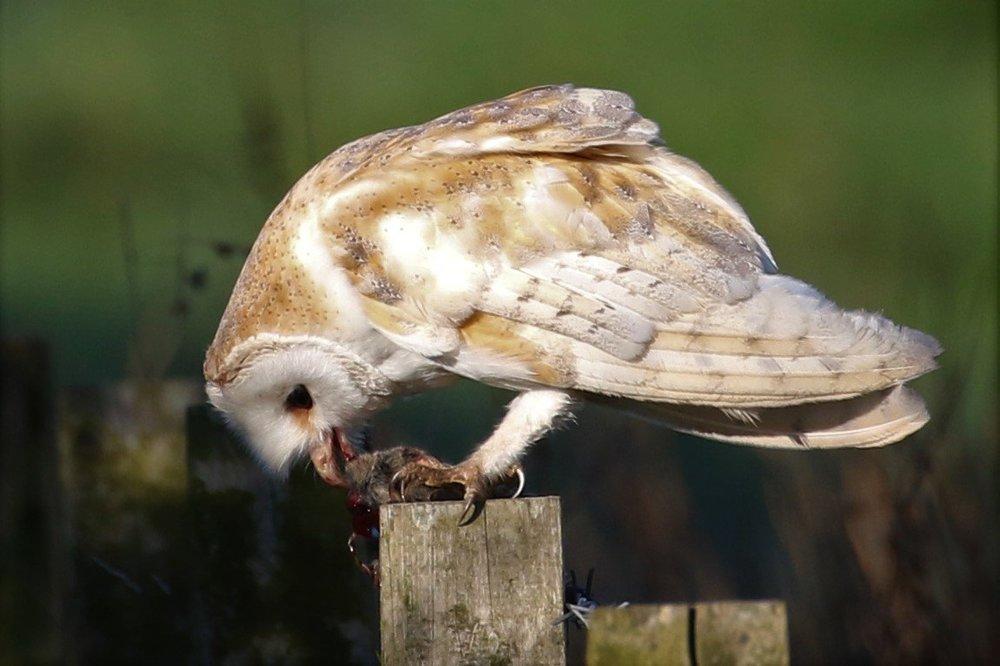owl.thumb.jpg.af75f3fec932b01eef0c8981ca9beacf.jpg