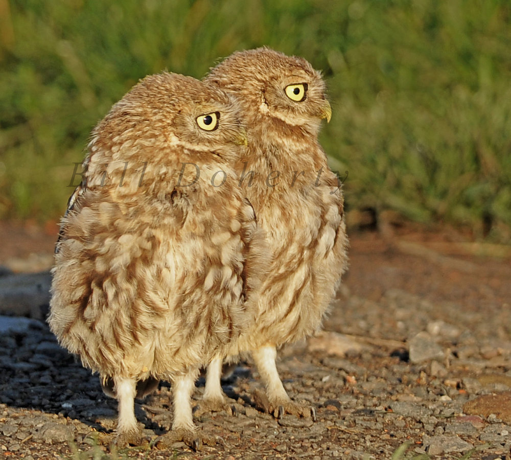 Little owl 4 wm 1 s.jpg