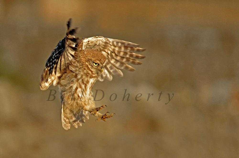 Little owl 10 wm 1 s.jpg