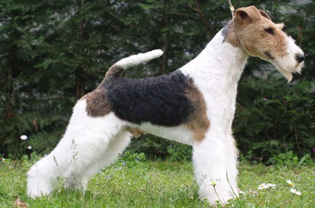 wire-fox-terrier.jpg