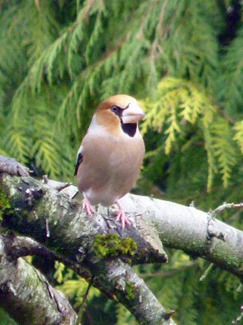 Haw Finch 1.jpg
