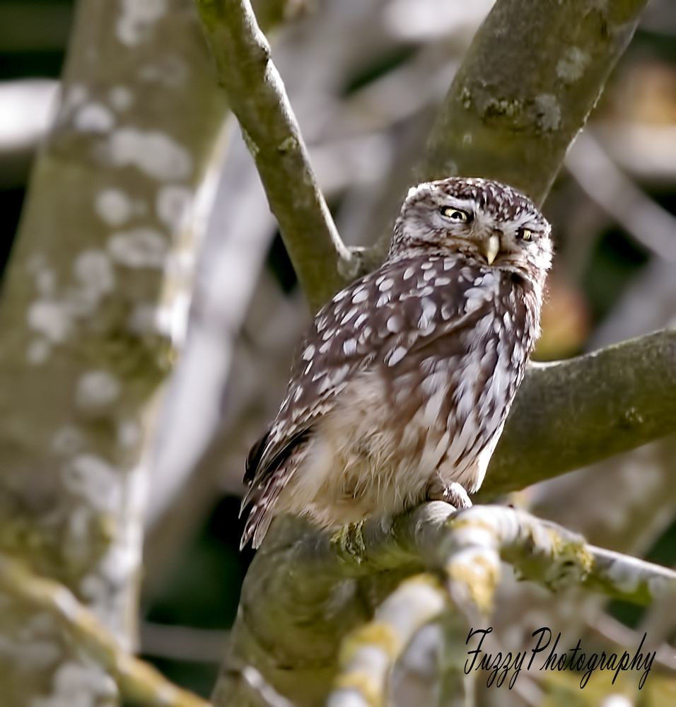 Little Owl.png
