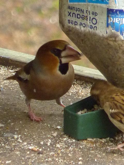 Haw Finch 3.jpg