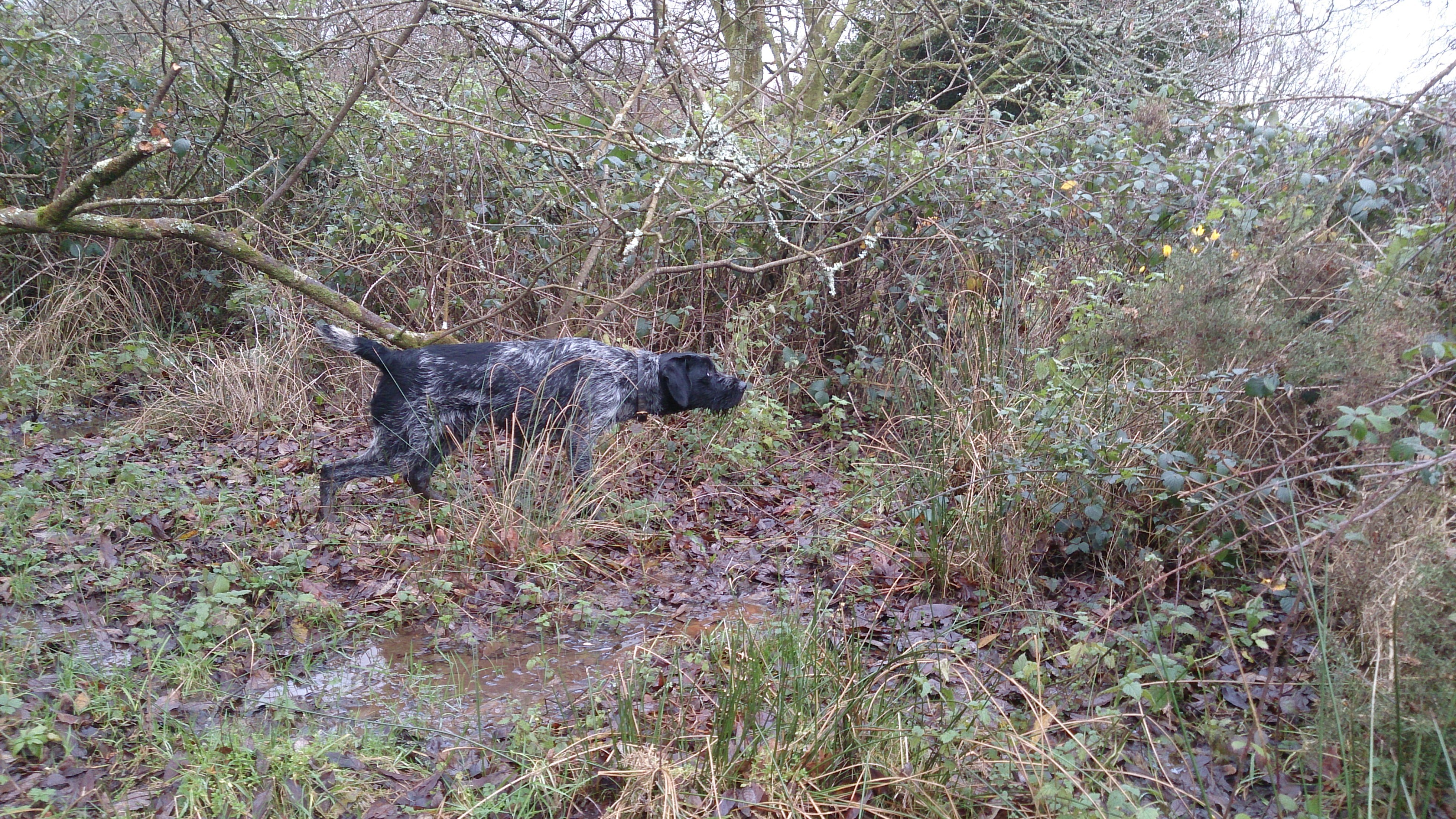 German Wirehaired Pointer At Stud