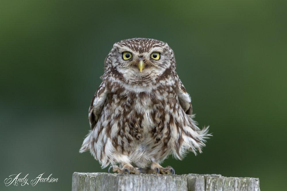 23-06-2019 Little Owl 1.jpg