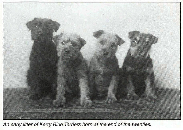 Early Kerry Blue Litter in the 20's.jpg