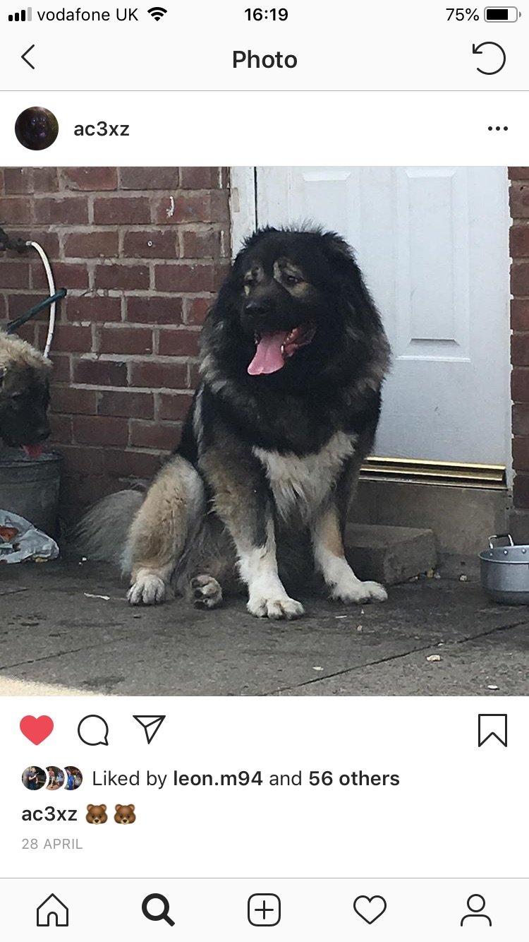 Guard Dogs Caucasian shepherds