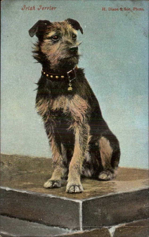 Irish Terrier  B&T 1910.jpg
