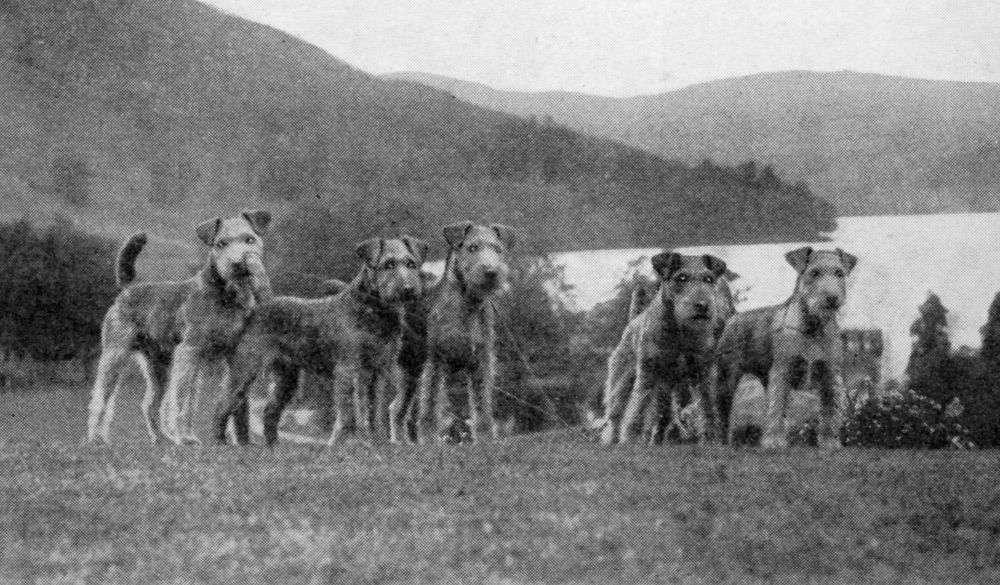 Lakeland-Terriers-c-1930.jpg