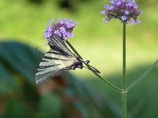 Swallowtail Butterfly 2.jpg
