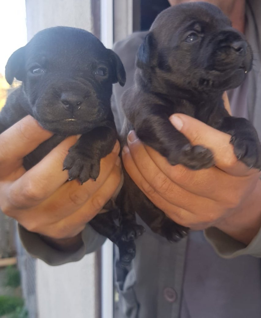4 dog pups for sale