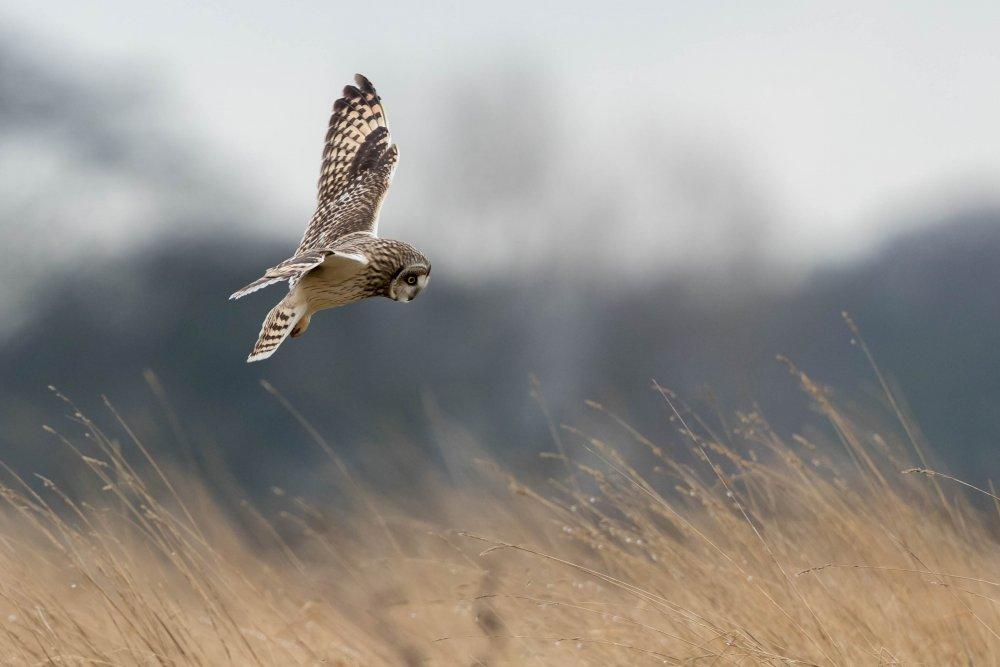 24-02-2020 Short Eared Owl.jpg