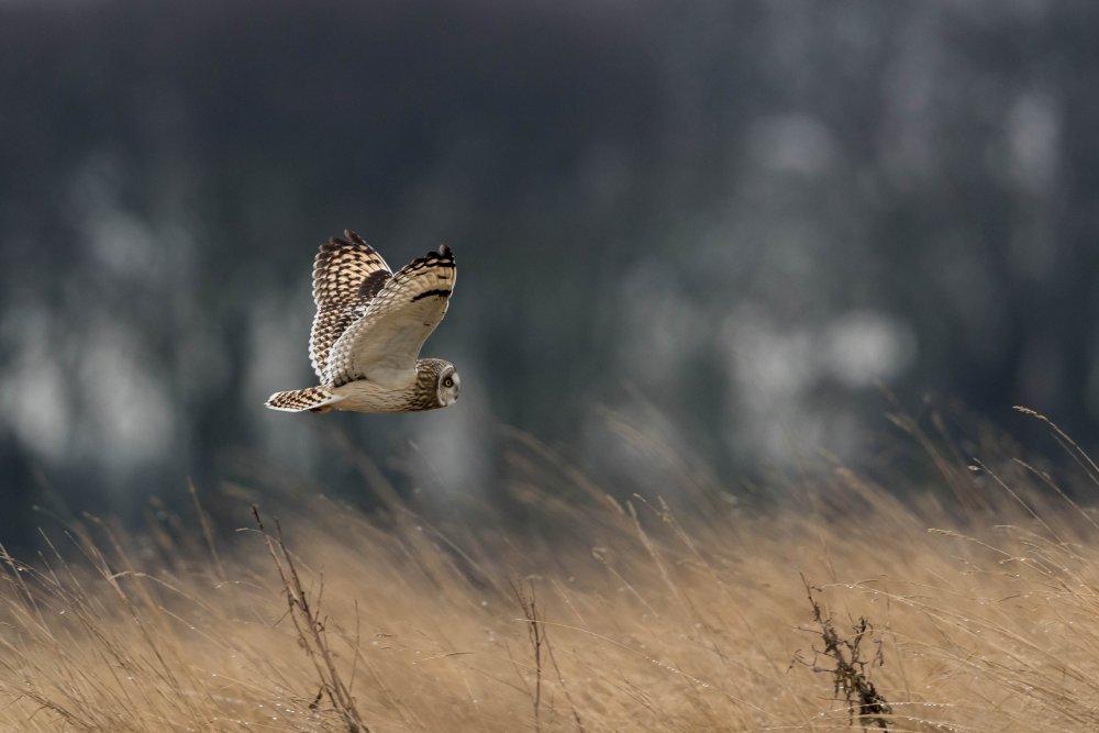 24-02-2020 Short Eared Owl 2.jpg