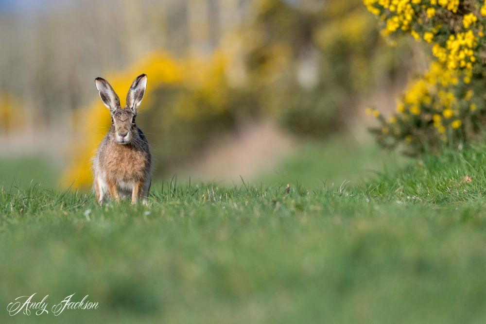 21-04-2019 Brown Hare 2.jpg