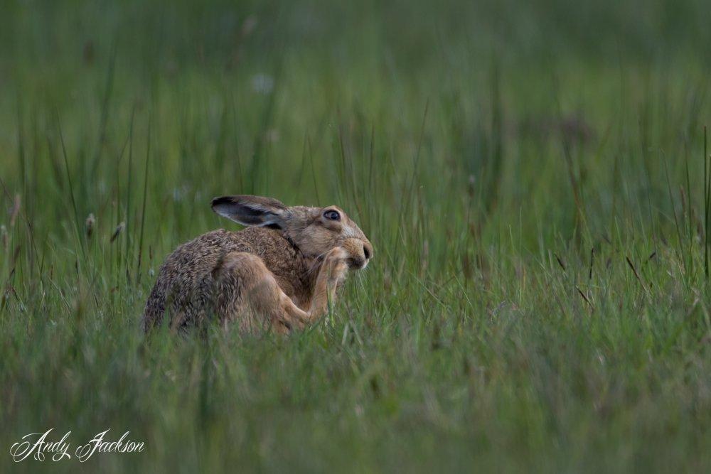 22-05-2016 Hare 1.jpg