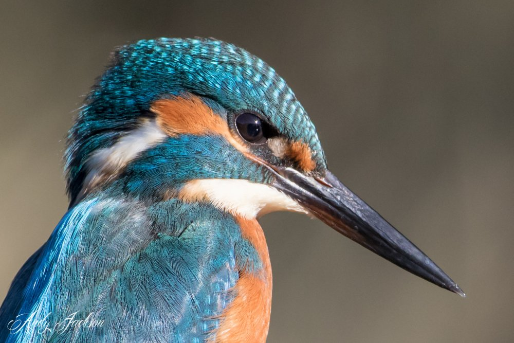 31-07-2016 Kingfisher 5.jpg