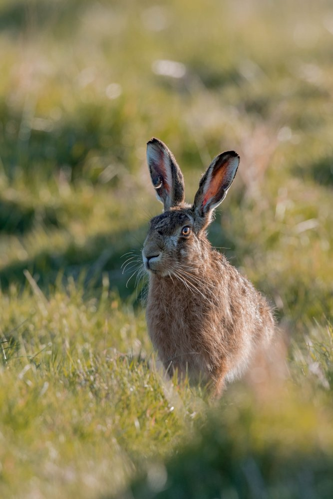 19-04-2020 Hare 5.jpg