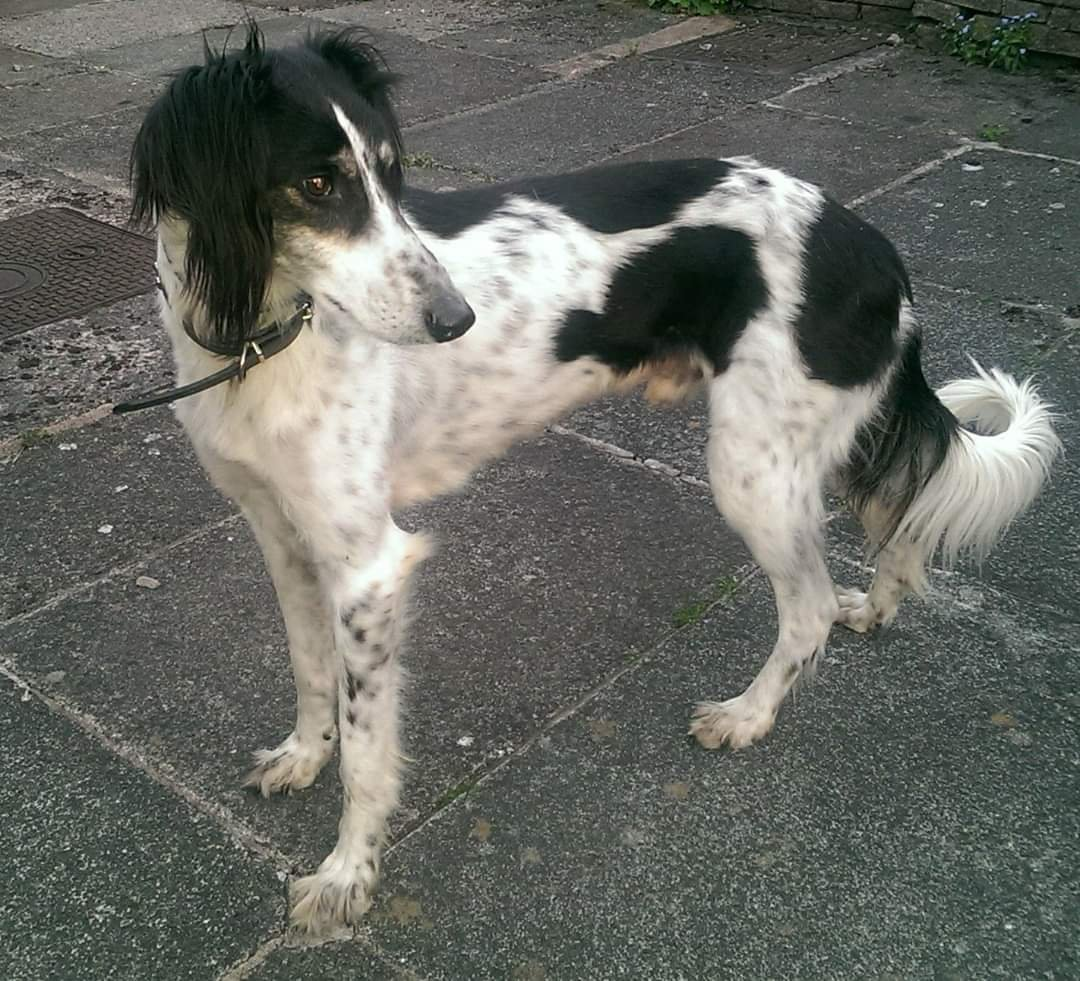 3/4 saluki grey wanted