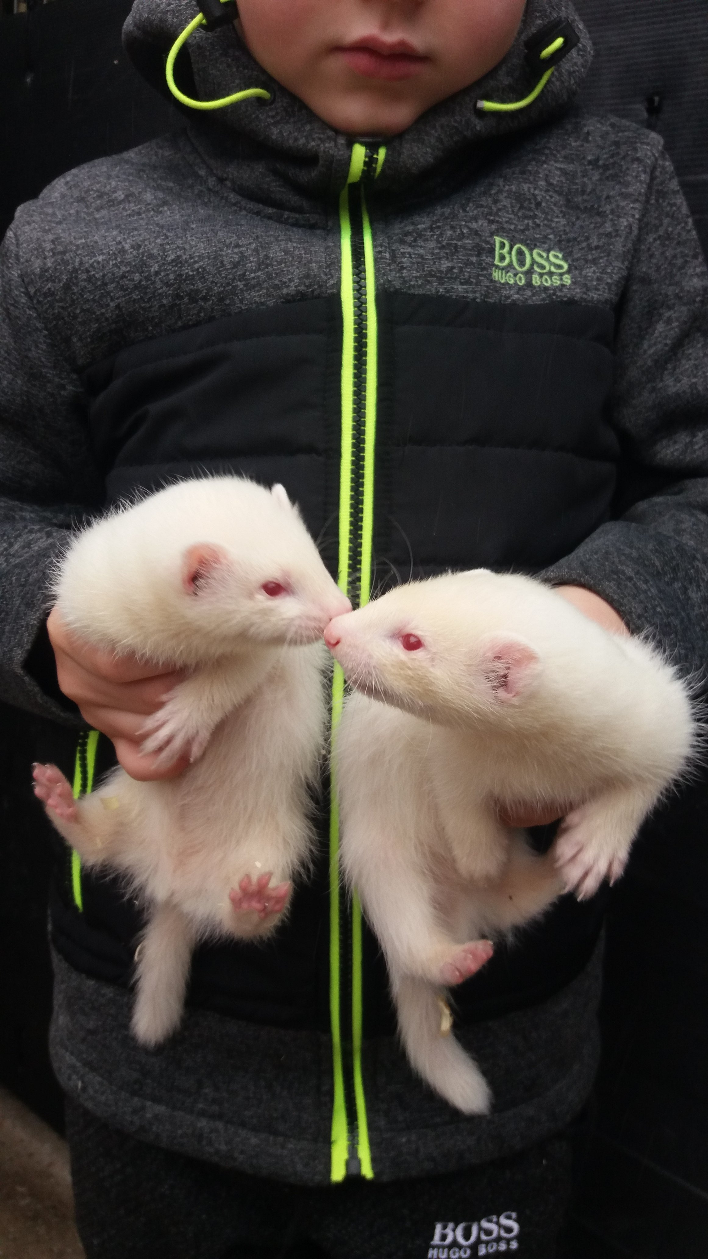 Albino ferret kits
