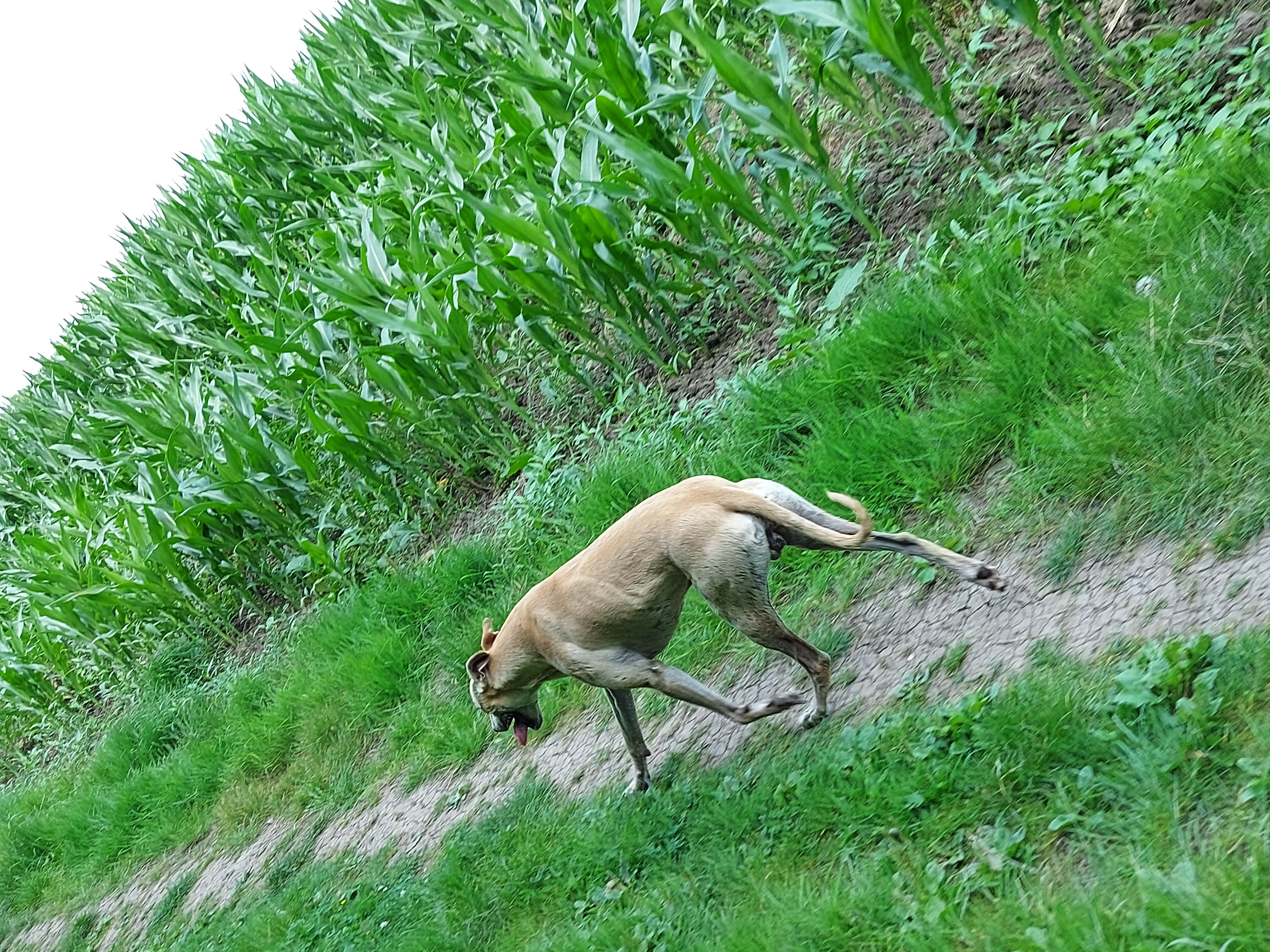 Bull greyhound
