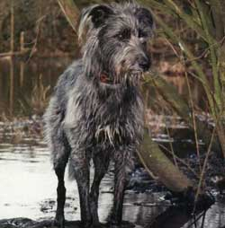 Bedlington Greyhound Lurcher