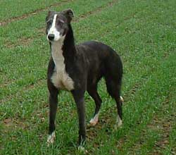 Collie Greyhound Lurcher
