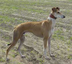 Saluki Greyhound Lurcher