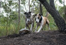 Lurchers Hunting